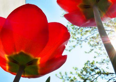 artistic-photography-by-jonnyjelinek_macro-bugsview-tulips